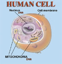 Diagram of human cell